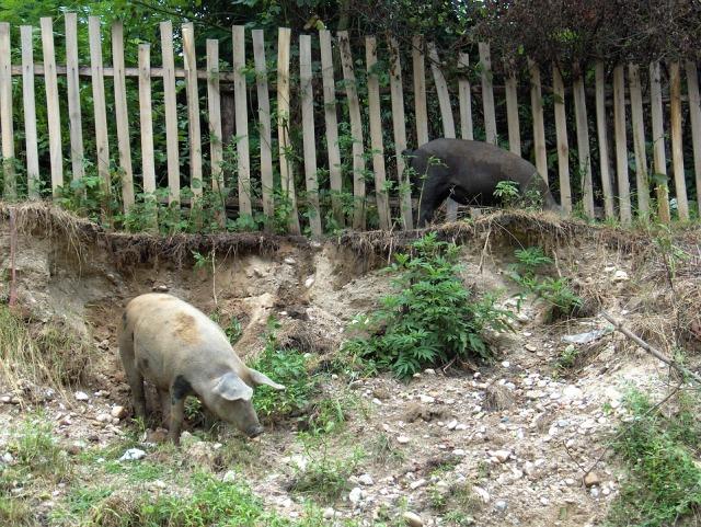 pigs-1626698_960_720